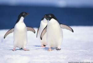 пингв